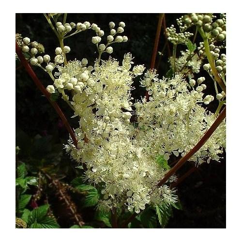 Tisane Reine des prés (Ulmaire) 1kg sommitée fleurie