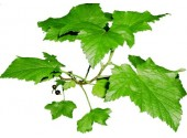 Tisane Cassis feuille 1 KILO Ribes nigrum.