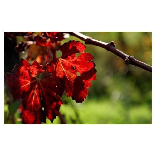 Tisane Vigne rouge feuille 1 Kg Vitis vinifera.